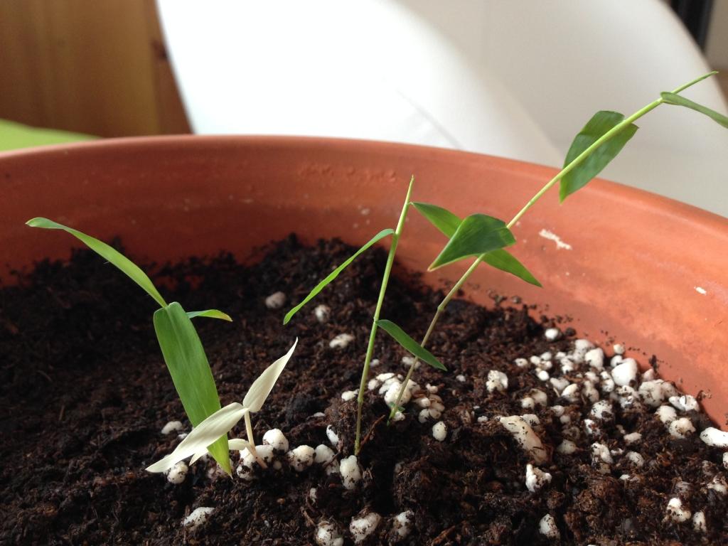 Bambus ze semen + jeden albín