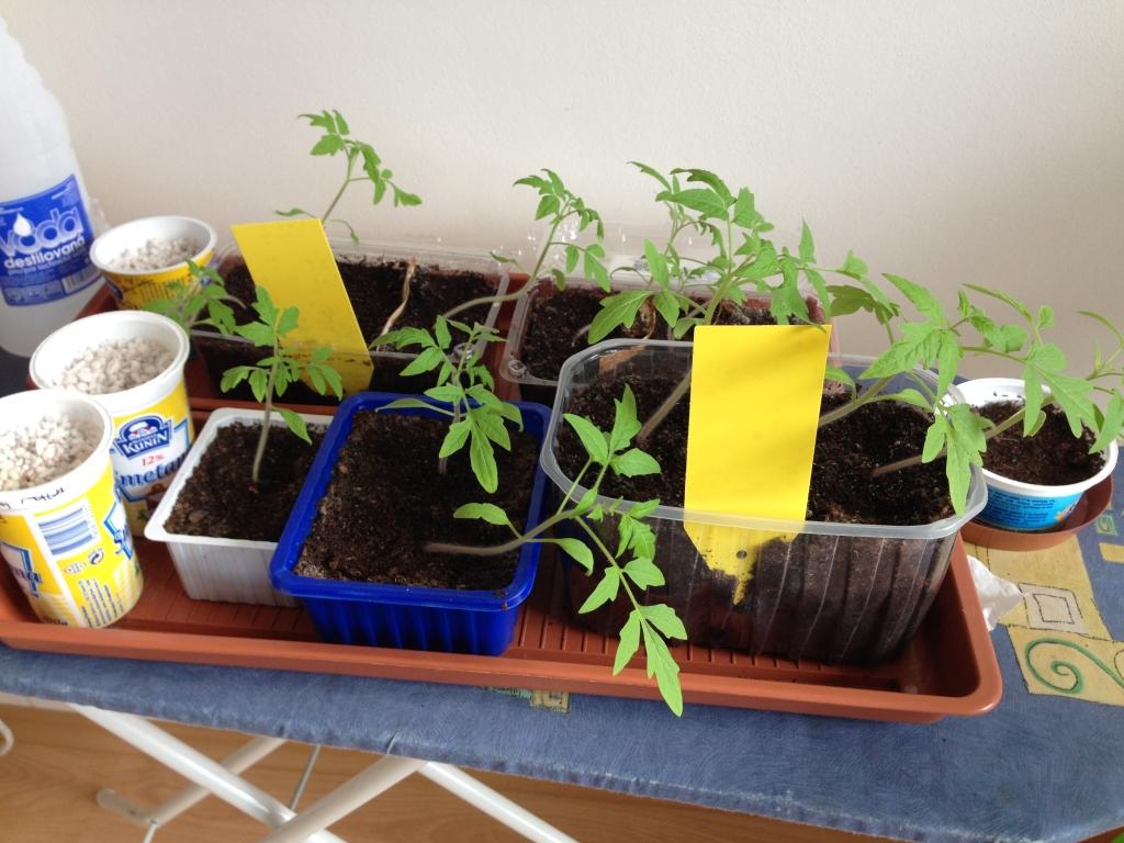 6 týdnů od toho, co rajčata vylezla ven