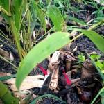 Phyllostachys atrovaginata přírůstky 24. 5. 2015
