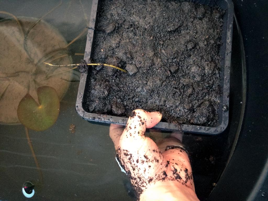 Opatrně ponořit lotos do kádě, aby se nevyplavila hlína