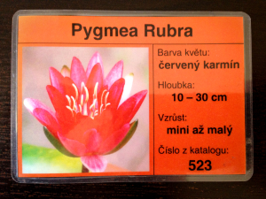 Občanka leknínu Pygmea Rubra