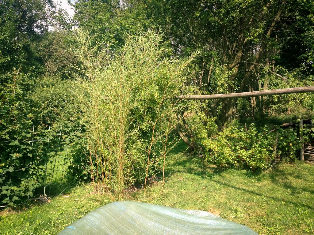 Bambus před přesazením
