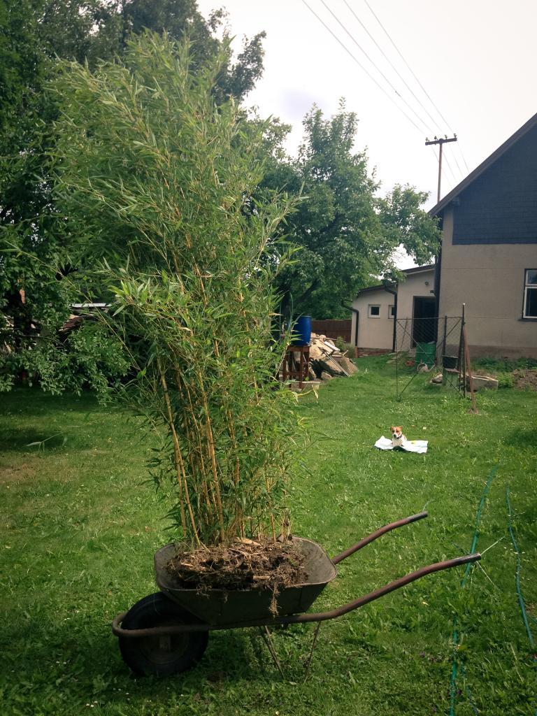 Bambus jede
