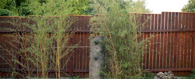 Živý plot z bambusu