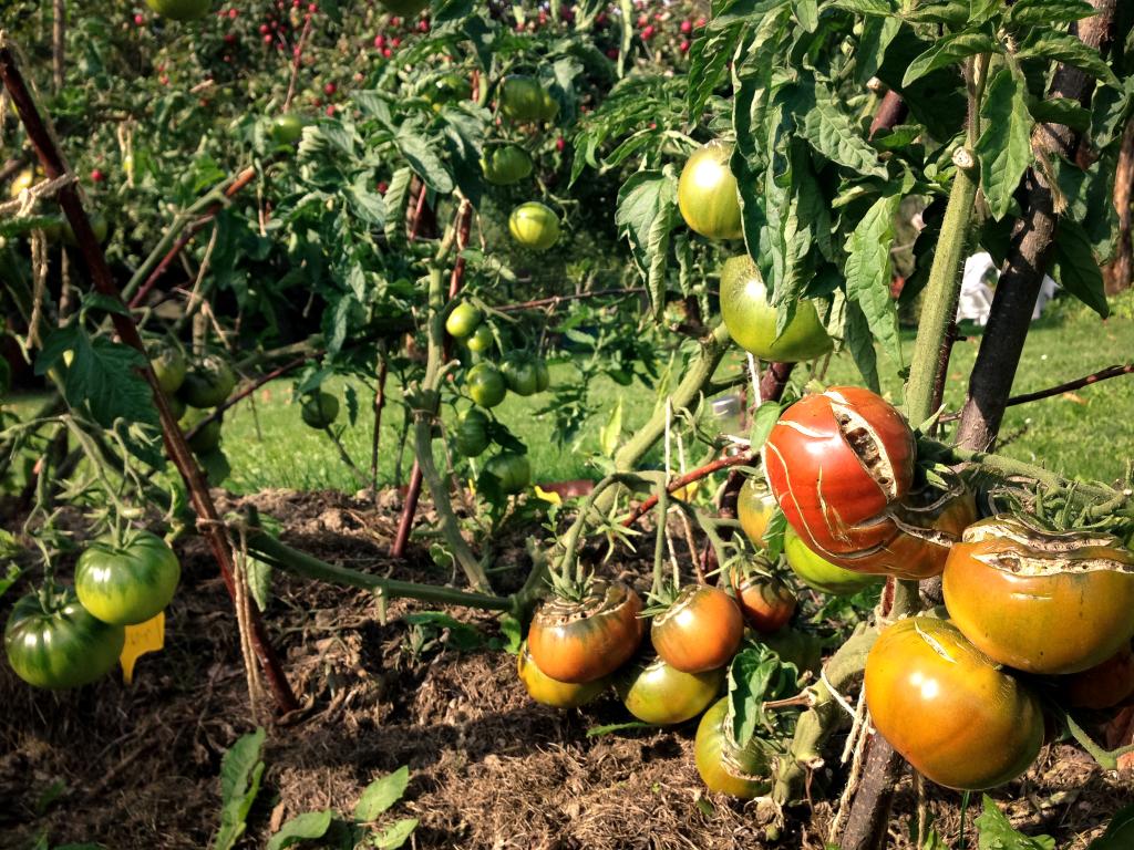Dozrávání rajčat 2