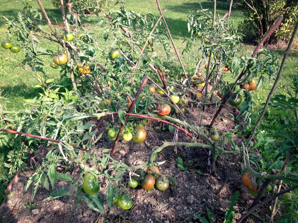 Dozrávání rajčat 3