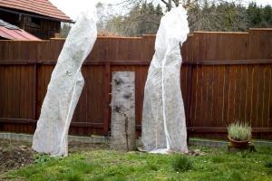 Živý plot stíněný po první zimě
