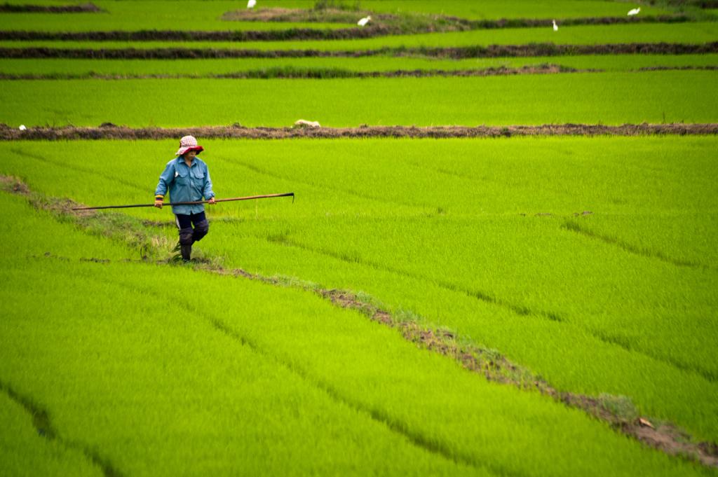 Rýžové pole u Nha Trang