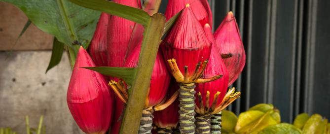 Květy banánovníku