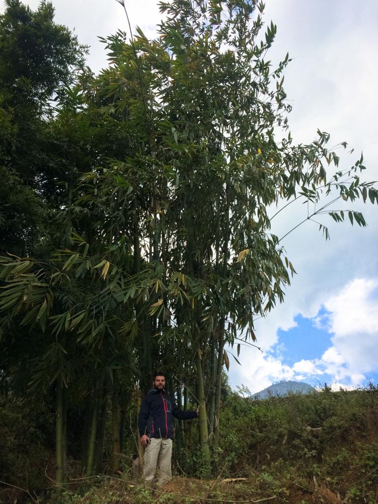 Velký bambus v Sapě