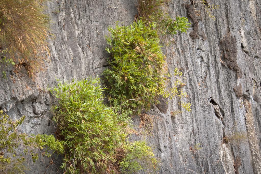 Bambus roste i na skalách