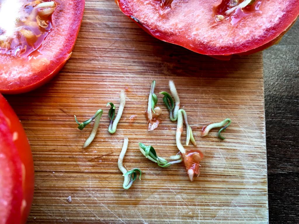 Semena z rajčete