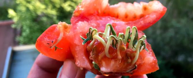 Semena v rajčeti byla silně naklíčená
