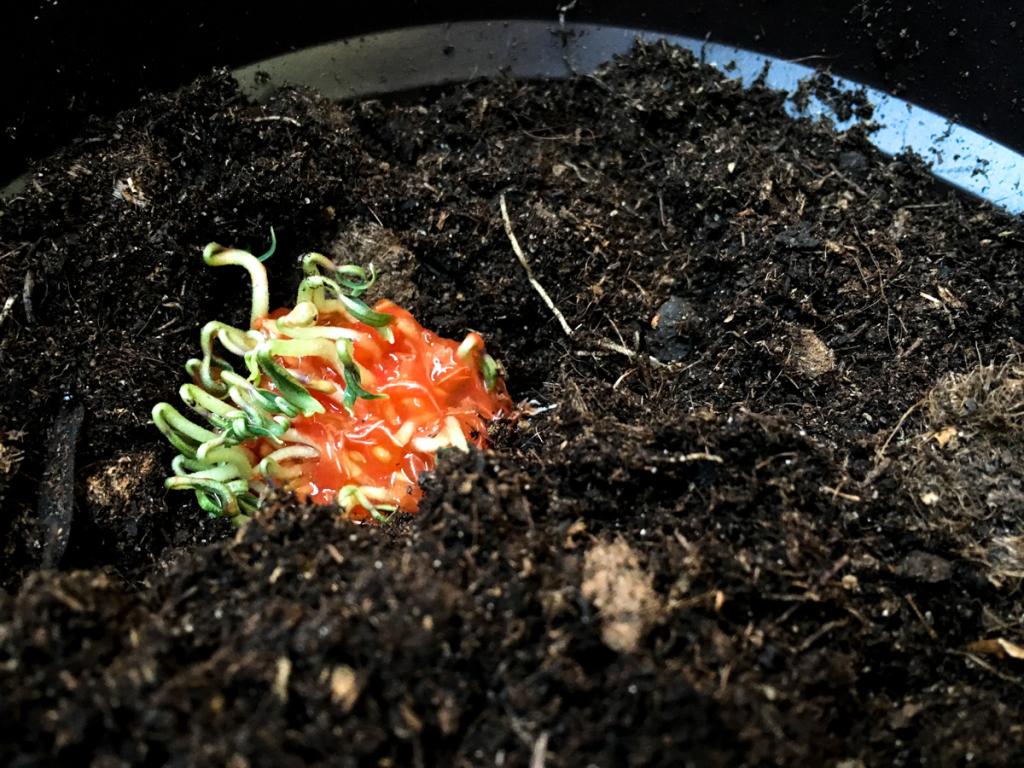 Zasazená semena, některá přímo i s rajčetem