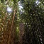 Žlutý nebo zelený bambus?
