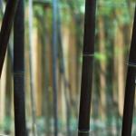 Černý bambus - Nigra