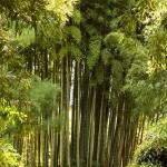Zátiší s bambusem