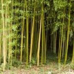 Bambusový lesík