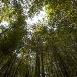 Vysoká stébla bambusu slunce nepropouští