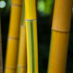 Žlutý bambus se zdobným zeleným proužkem