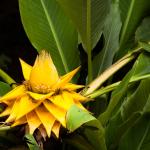 Květ banánovníku (Musella lasiocarpa)