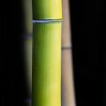 Detail žlutozeleného bambusu