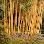 Žluté bambusy