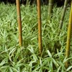 Stébla bambusu vyrůstající z pokryvné zeleně