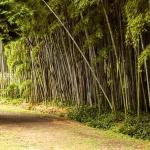Hradba z bambusů