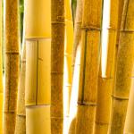 Žlutá stébla bambusu