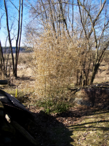 Bambus je spálený od mrazu a předjarního sluníčka