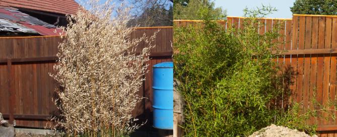 Omrzlý bambus - předtím a potom